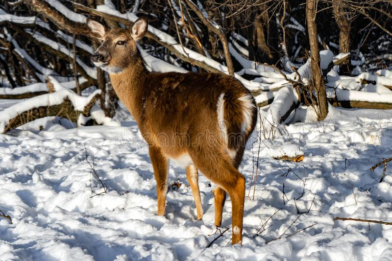 Cute young fluffy deer walks in the snowy forest , USA stock image