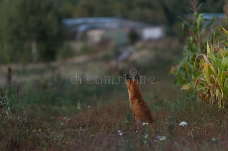 Cute young fox cub on the grass background. One. Evening light. A cute, young, fiery, red fox cub sits, lit by the evening sun, against the background of grass stock photos