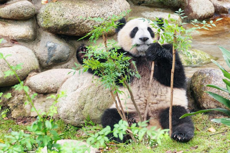 Cute young giant panda looking at the camera through foliage. Cute young giant panda looking at the camera through green foliage. Funny panda bear. Amazing wild stock photography