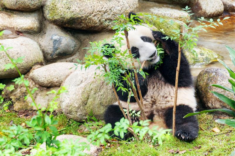 Cute young giant panda playing with bush. Funny panda bear. Cute young giant panda playing with bush and looking at the camera through green foliage. Funny panda stock photo