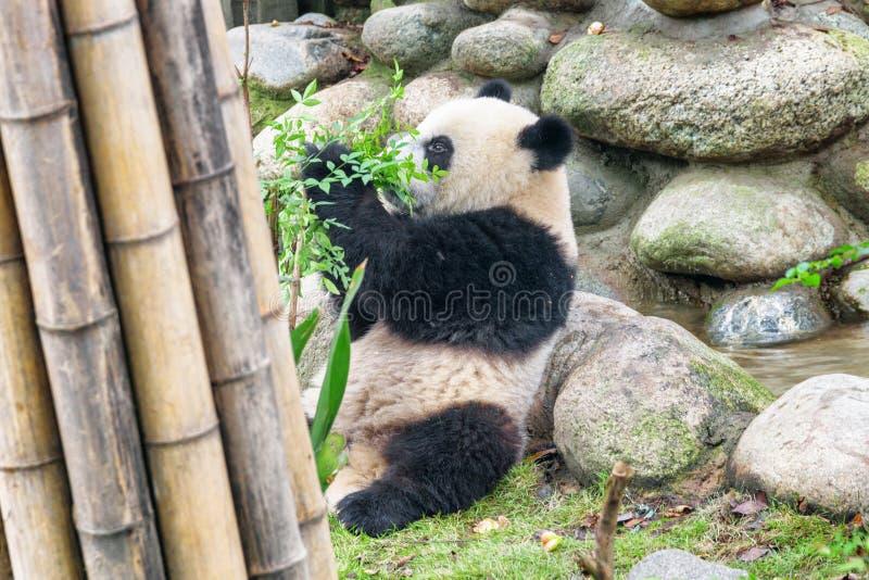 Cute young giant panda playing with green bush. Funny panda bear. Amazing wild animal stock image