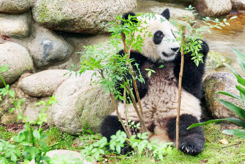 Cute young giant panda sitting among green foliage. Funny panda bear having fun. Amazing wild animal royalty free stock images
