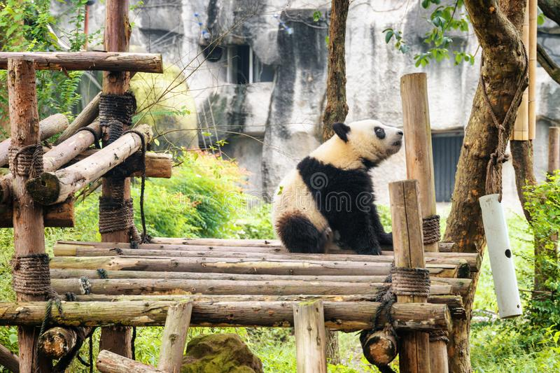Cute young giant panda sitting and resting after breakfast. Sad panda bear. Amazing wild animal stock photography