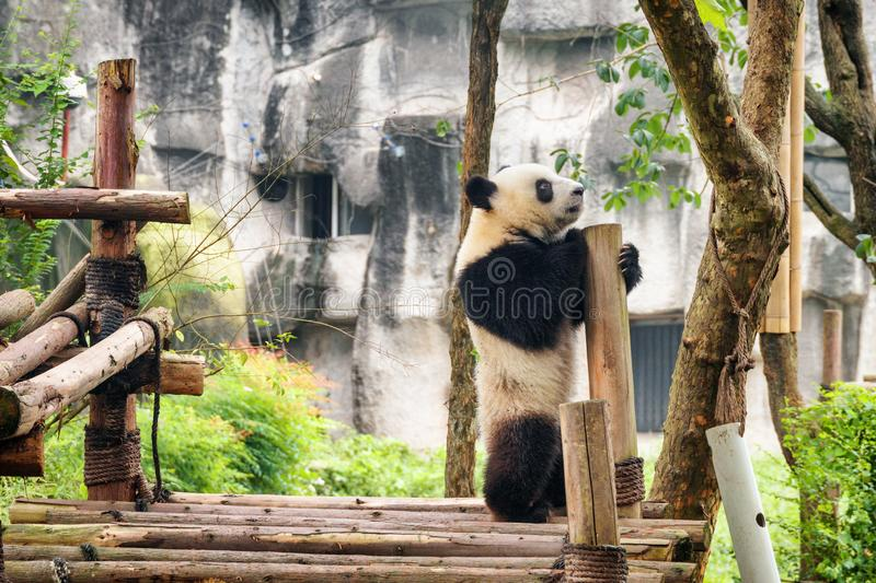 Cute young giant panda standing on hind legs. And holding on to wooden pillar. Sad wistful panda bear. Amazing wild animal stock photos