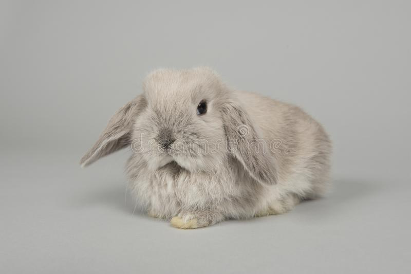 Cute young grey bunny lying down on a grey background stock photography