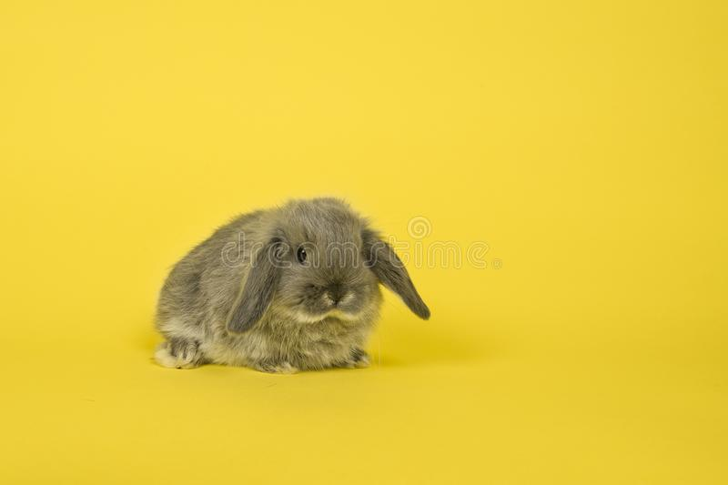 Cute young grey bunny on a yellow background royalty free stock images