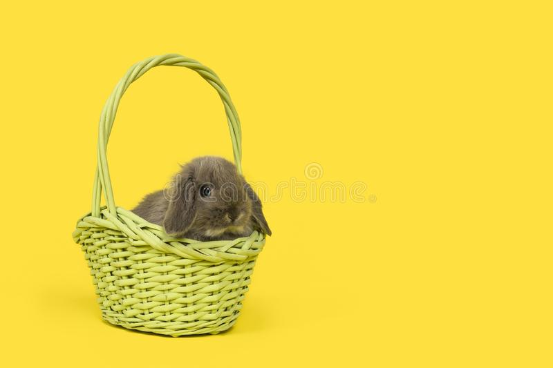 Cute young grey rabbit in a green wicker basket on a yellow background royalty free stock image