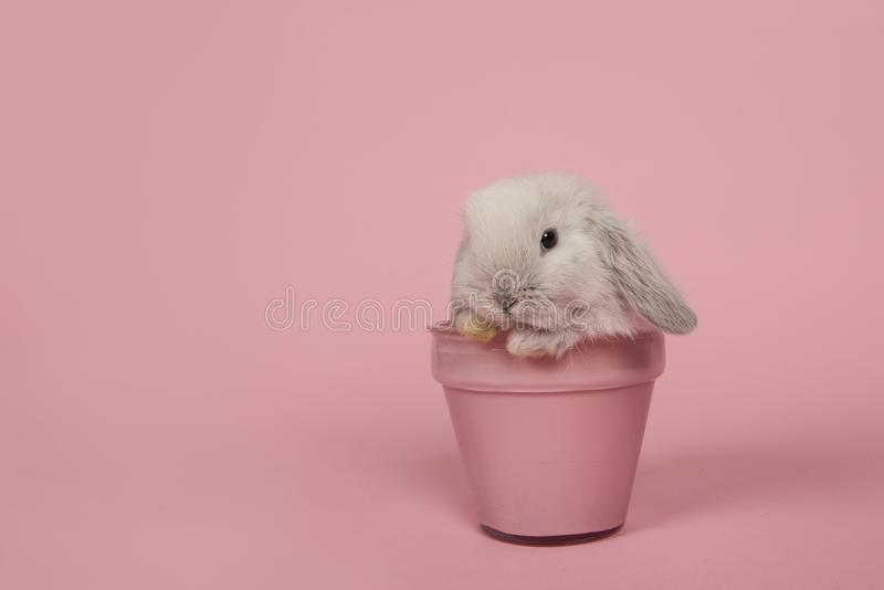 Cute young grey rabbit in a pink flowerpot on a pink background royalty free stock photo