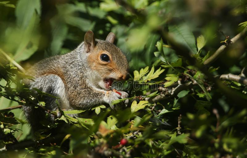 A young Grey Squirrel Scirius carolinensis eating a red rose hip in a tree. A cute young Grey Squirrel Scirius carolinensis eating a red rose hip in a tree stock photos