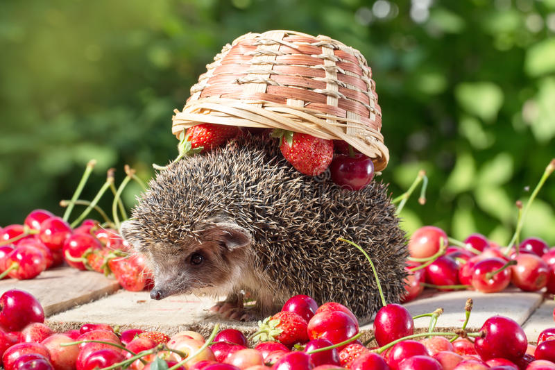 Cute young hedgehog, Atelerix albiventris, among berries on a background of green leaves royalty free stock image