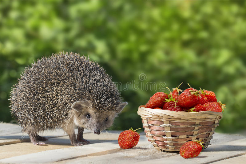 Cute young hedgehog, Atelerix albiventris, stands near the wicker basket with strawberry on a background of green leaves. royalty free stock photos