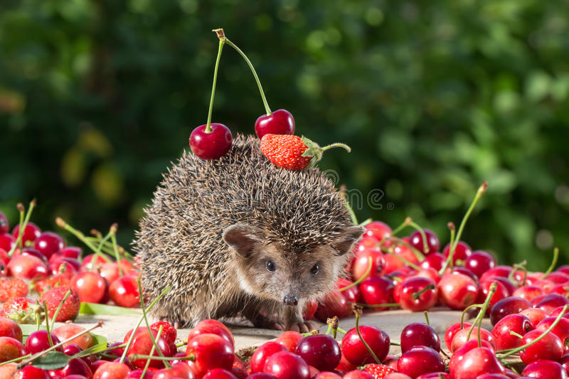 Cute young hedgehog among the berry on green leaves background, carries cherry and strawberry on the back royalty free stock image