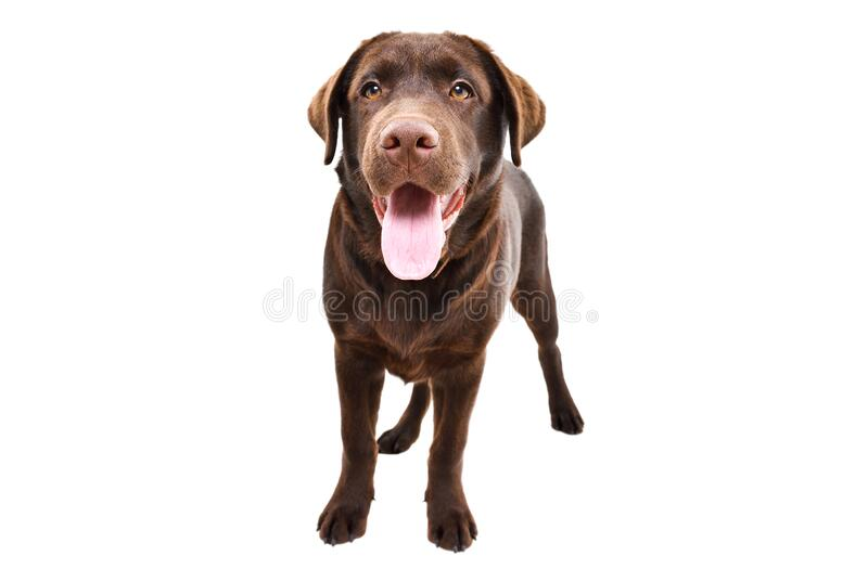 Cute young Labrador royalty free stock images
