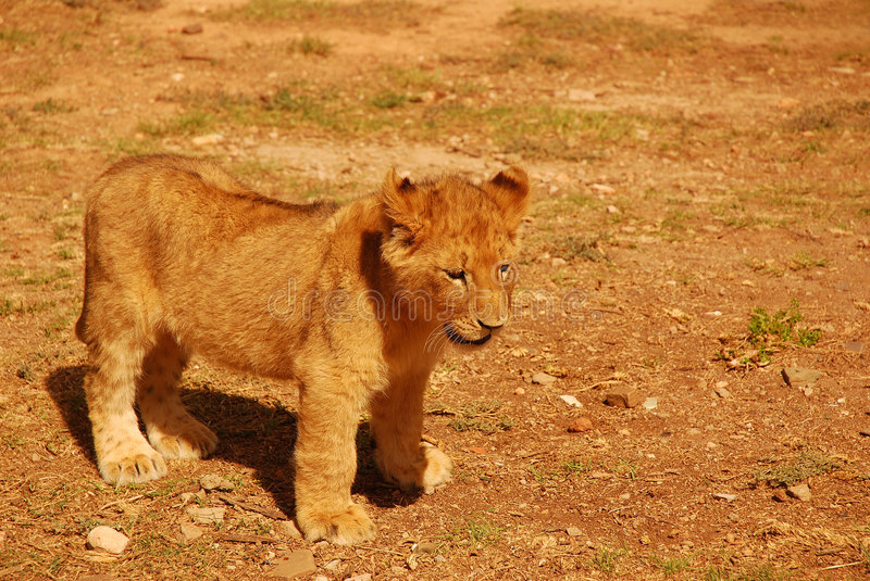 Download Lion cub stock photo. Image of reserve, lovable, panthera - 6796632