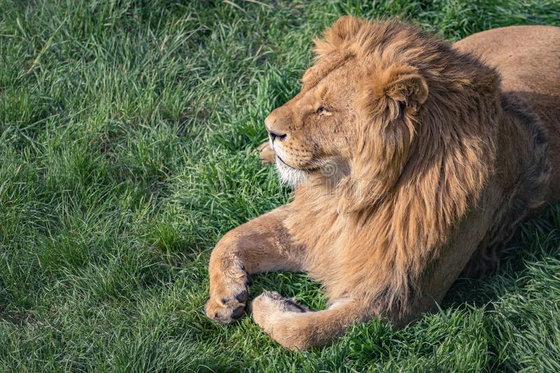 Cute young lion, the king of beasts, on a background of green grass, copy space stock photo