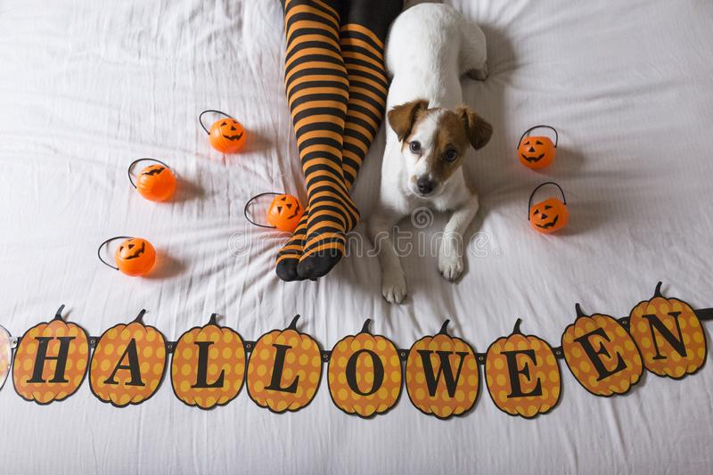 Cute young little dog lying on bed next to his owners legs wearing a black and orange socks. Halloween concept. view from above. Haunt, animal, costume, pet stock photography
