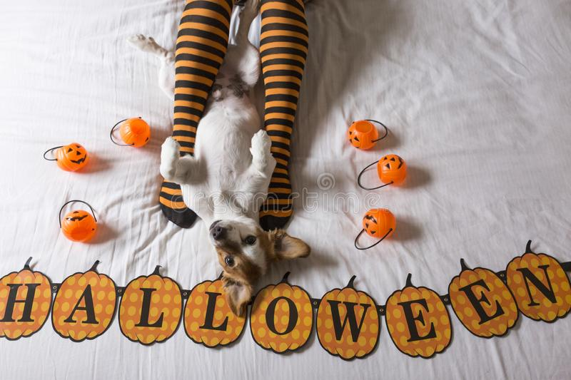 Cute young little dog lying on bed next to his owners legs wearing a black and orange socks. Halloween concept. view from above. Haunt, animal, costume, pet stock photo
