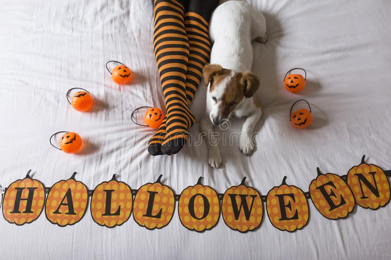 Cute young little dog lying on bed next to his owners legs wearing a black and orange socks. Halloween concept. view from above. Haunt, animal, costume, pet royalty free stock images