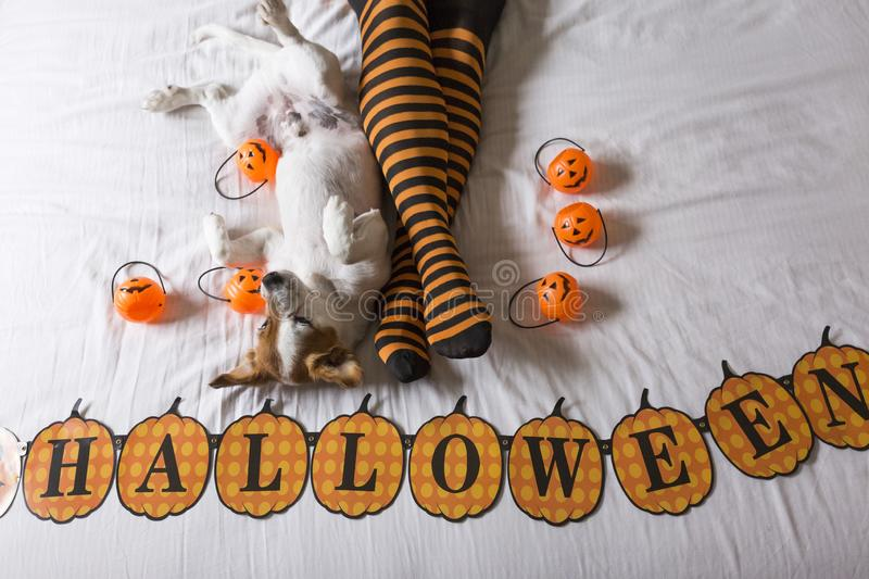 Cute young little dog lying on bed next to his owners legs wearing a black and orange socks. Halloween concept. view from above. Haunt, animal, costume, pet stock photos