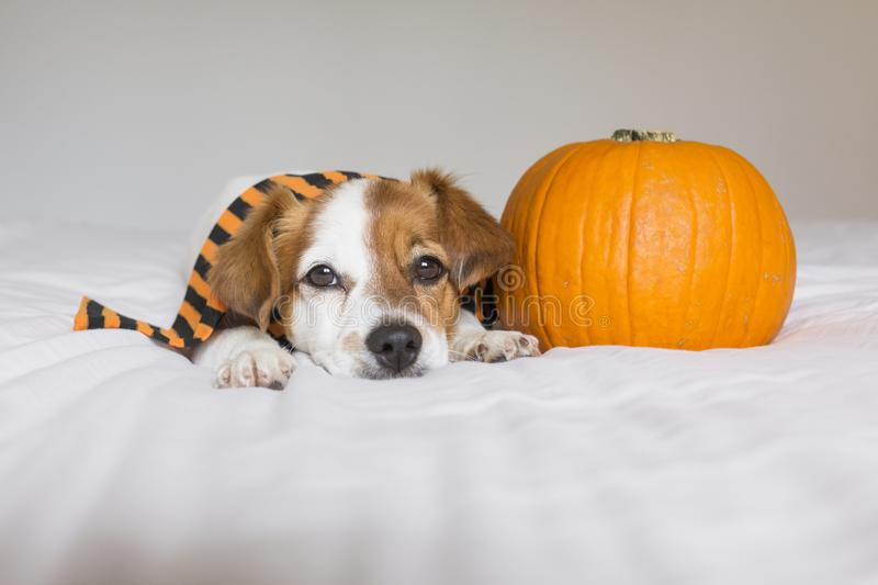 Cute young little dog posing on bed wearing an orange and black scarf and lying next to a pumpkin. Halloween concept. white. Background, haunt, humor, joke royalty free stock images