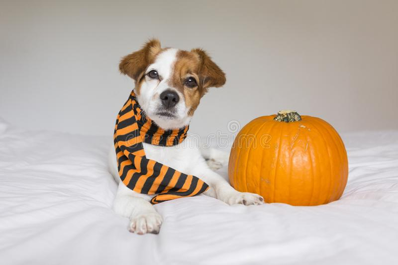 Cute young little dog posing on bed wearing an orange and black scarf and lying next to a pumpkin. Halloween concept. white. Background, haunt, humor, joke royalty free stock image