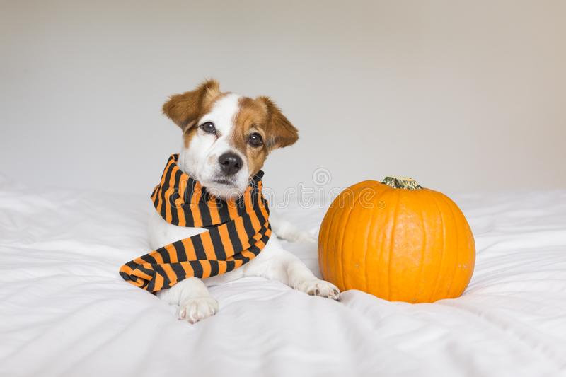 Cute young little dog posing on bed wearing an orange and black scarf and lying next to a pumpkin. Halloween concept. white. Background, haunt, humor, joke stock image