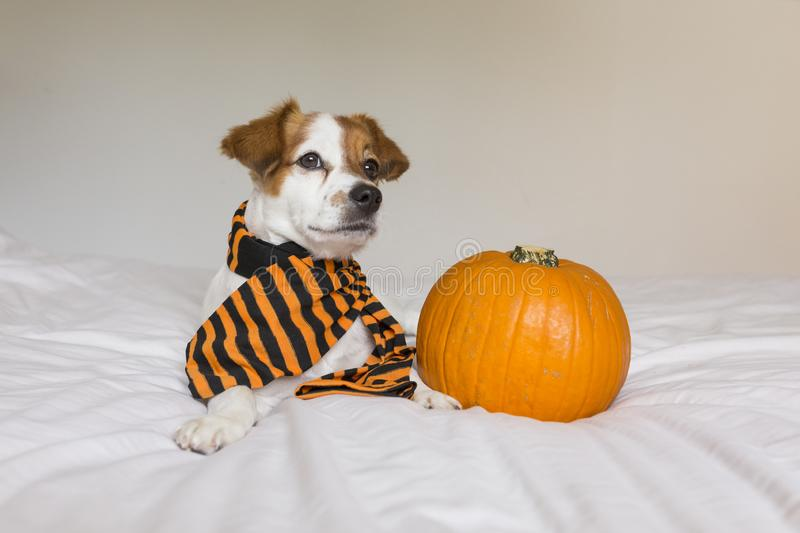 Cute young little dog posing on bed wearing an orange and black scarf and lying next to a pumpkin. Halloween concept. white. Background, haunt, humor, joke royalty free stock photography