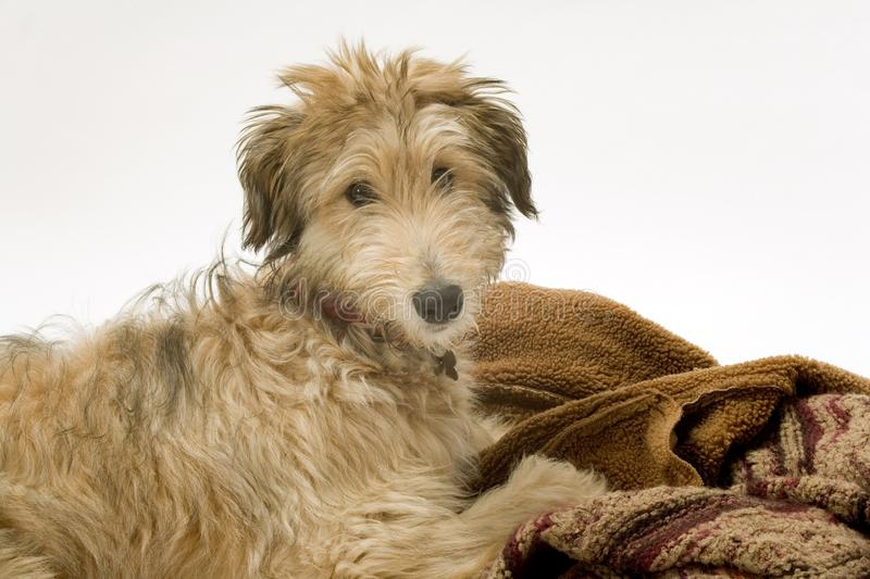 Lurcher puppy stock photography