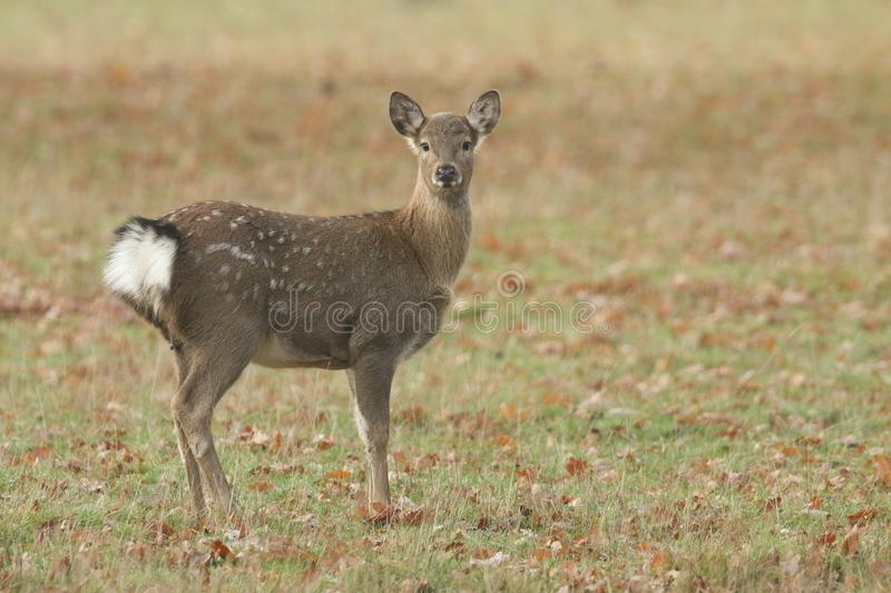 A cute young Manchurian Sika Deer or Dybowski`s Sika Deer Cervus nippon mantchuricus or Cervus nippon dybowskii standing in a me royalty free stock photos