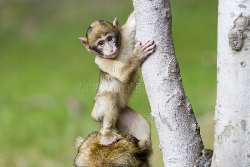 Cute young monkey. Stepping on its mothers head stock photos