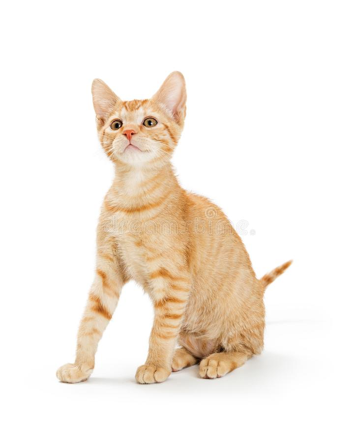 Cute Young Orange Striped Tabby Kitten royalty free stock photos