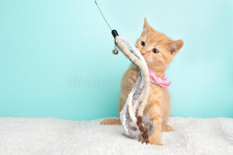 Cute Young Orange Tabby Cat Kitten Rescue Wearing Pink Bow Tie Playing and Pawing a Strong Toy with a Bell stock photo
