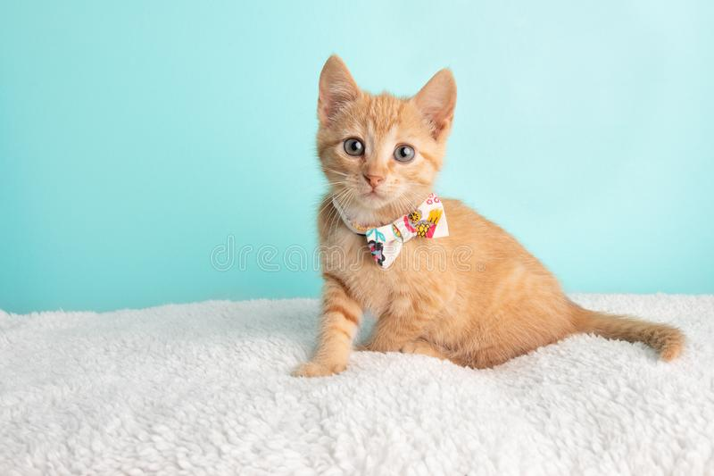Cute Young Orange Tabby Cat Kitten Rescue Wearing White Flower Bow Tie Sitting Wide Eyed Looking to the Left. On Blue Background royalty free stock photos
