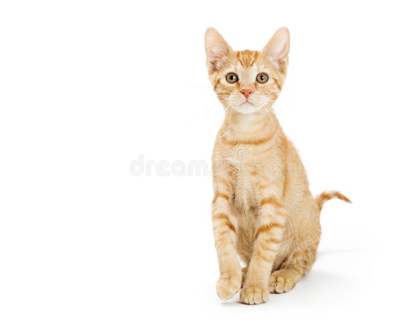 Cute Young Orange Tabby Kitten Sitting Tall royalty free stock images