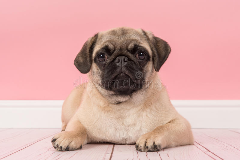 Cute Young Pug Dog Lying On The Floor In A Pink Living Room Setting ...