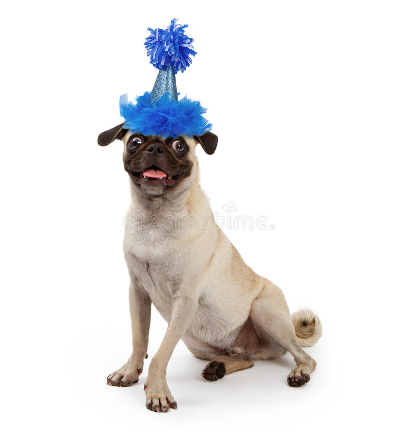 Cute Young Pug Dog Wearing a Party Hat. Pug dog wearing a blue sparkly birthday party hat with feathers and a pom-pon royalty free stock photography