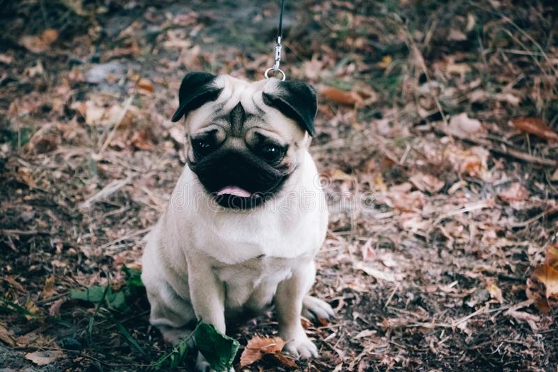 Cute young pug female on a walk in the forest, selective focus. Cute young pug female on a walk in forest, selective focus royalty free stock image