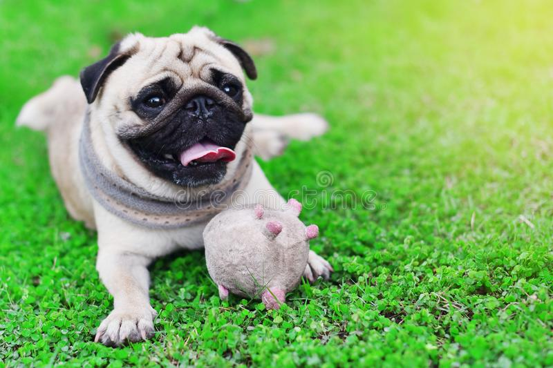 Cute young Pug. Stay alone in garden, close up stock images