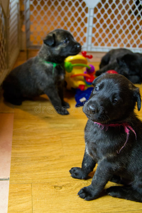 Cute Young Puppies in Playroom stock image