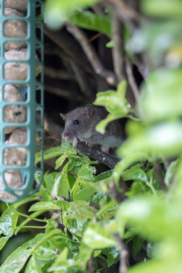 Cute young rat. Vermin garden pest approaching garden bird feeder stock image
