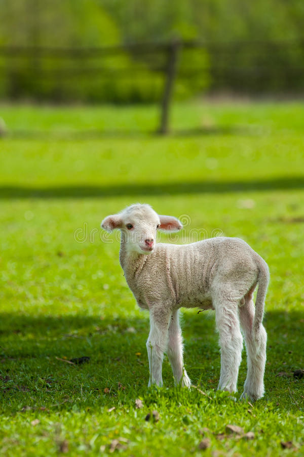 Cute young sheep. Cute sheep or lamb in green meadow stock photo