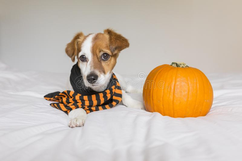 Cute young small dog lying on bed with a black and orange scarf next to a pumpkin. Pets indoors. Haunt, humor, joke, animal, monster, costume, terror, autumn royalty free stock image