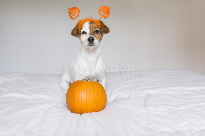Cute young small dog lying on bed with a halloween costume and decoration and next to a pumpkin. Pets indoors. Haunt, humor, joke, animal, monster, terror royalty free stock image