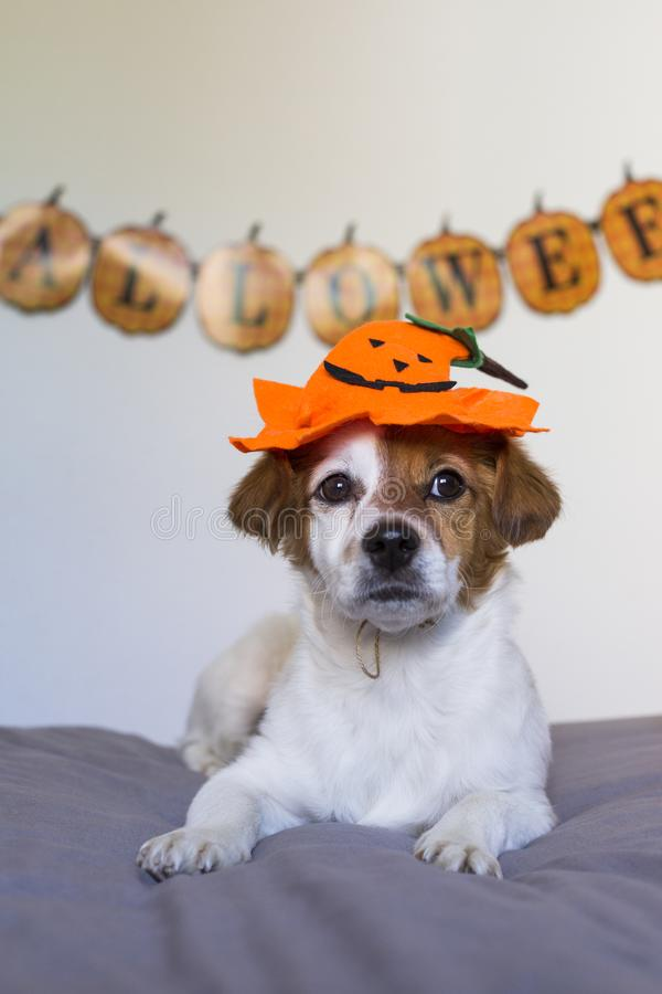 Cute young small dog lying on bed with a halloween costume and decoration. Pets indoors. Haunt, humor, joke, animal, monster, terror, autumn, thanksgiving royalty free stock images