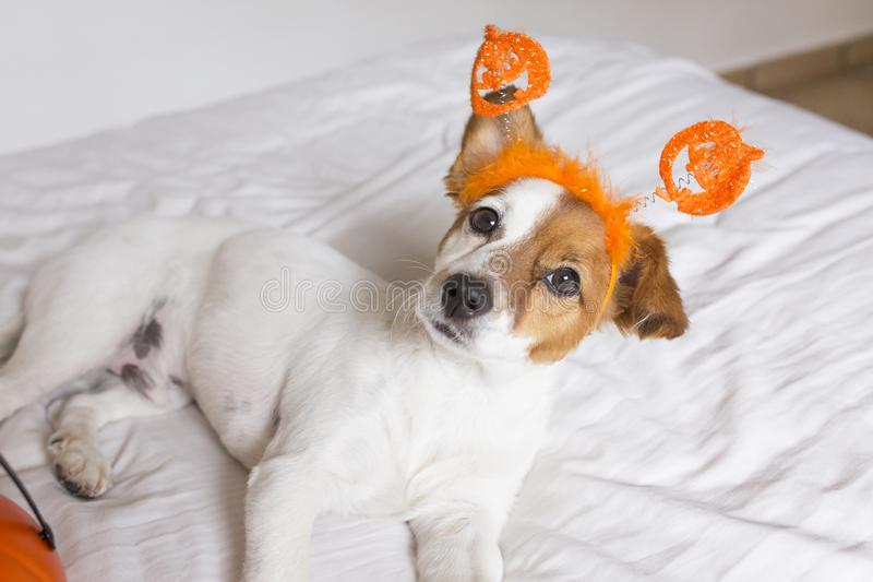 Cute young small dog lying on bed with a halloween costume and decoration. Pets indoors. Haunt, humor, joke, animal, monster, terror, autumn, thanksgiving stock photography