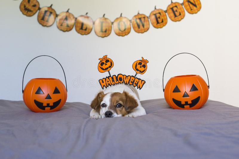 Cute young small dog lying on bed with a halloween costume and decoration. Pets indoors. Haunt, humor, joke, animal, monster, terror, autumn, thanksgiving royalty free stock photography