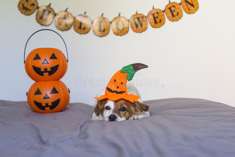 Cute young small dog lying on bed with a halloween costume and decoration. Pets indoors. Haunt, humor, joke, animal, monster, terror, autumn, thanksgiving stock image