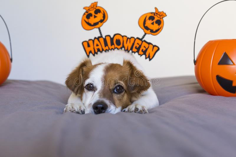 Cute young small dog lying on bed with a halloween costume and decoration. Pets indoors. Haunt, humor, joke, animal, monster, terror, autumn, thanksgiving royalty free stock photo