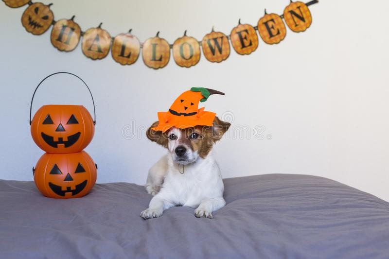 Cute young small dog lying on bed with a halloween costume and decoration. Pumpkins next to him. Pets indoors. Haunt, humor, joke, animal, monster, terror royalty free stock image