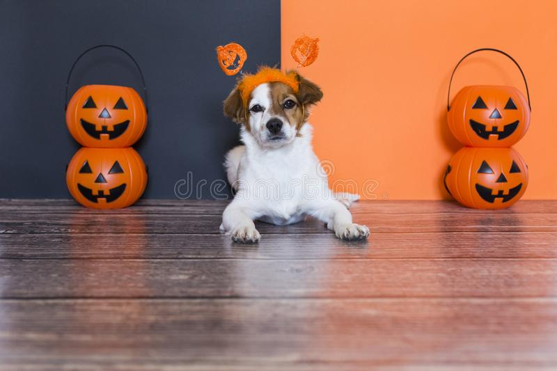 Cute young small dog lying on on the wood floor with a halloween costume and decoration. Pets indoors. orange and black background. Haunt, humor, joke, animal stock photos